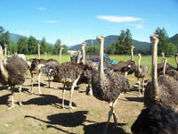 Ostrich Breeders for Sale, 5 year Contract for all yearlings