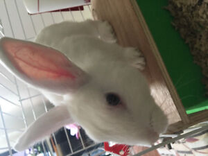 Dwarf male bunny for sale! 12wks cage/food/accessories