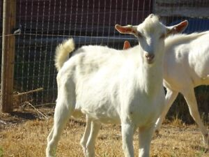 Alpine & Saanen breeding bucks for sale