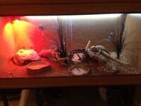 Bearded dragon and tank