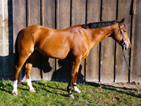 Horse for sale*School Master