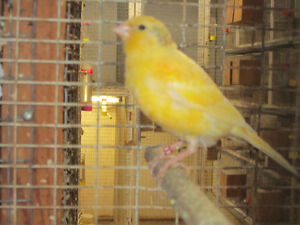 Yellow Canaries. London Ontario image 3