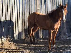 Coming two year old, well cutting bred filly