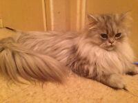 Beautiful fluffy Persian kitties