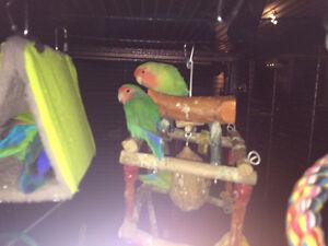 Young Love Bird Pair