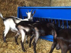 15 dairy billy goats