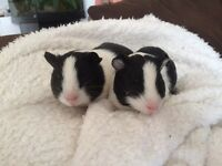 Pair of young male guinea pigs for sale