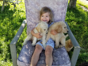 Beautiful Labradoodles!!