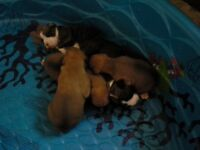 boxer puppies only 4 left to choose from