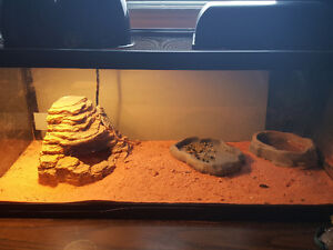 Baby Bearded dragon for sale everything included
