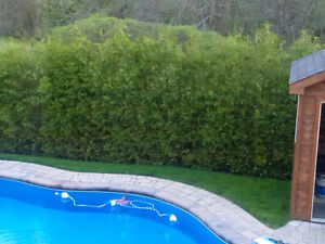 WHITE CEDAR TREES/PRIVACY HEDGE - FALL IS A GREAT TIME TO PLANT! Cambridge Kitchener Area image 4