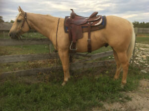 Well broke AQHA palomino gelding