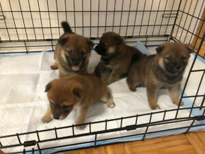 4 Shiba Inu Puppies looking for new home