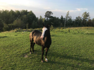 11 year old paint mare