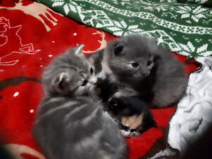 Mom cat and 3 kittens