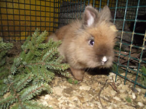 male  tort  lion head rabbit