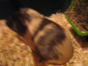 CALIFORNIA GIANT GUINEA PIGS AND NEW CAGE