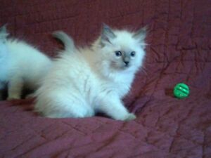 Beautiful Registered Ragdoll Kittens Available for Adoption