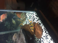 Looking to trade a few large clown loaches for peacocks!
