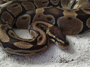 Ball Python + Accessories for sale