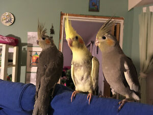 5 month cockatiels