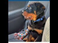 German pure breed Rottweiler puppy