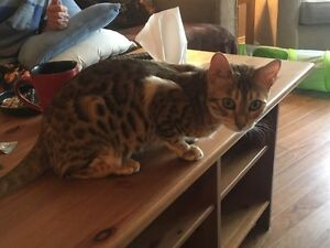 7 month old purebred female Bengal friendly and unaltered.