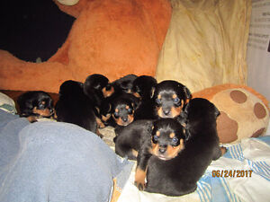 Beautiful Rotti Pups looking for a forever home