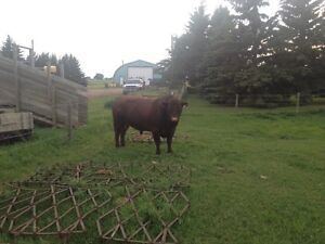 Pure bred Red Poll 4 year old