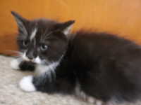 Ragdoll X kittens: vet checked and vaccinated
