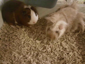 Two guinea pigs with large cage