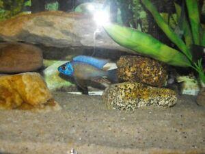 Tiawan Reef Cichlid