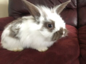 2 months old baby lionhead bunny for sale need gone asap