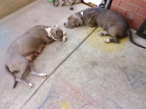 Blue American staffy pups