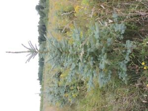 Blue Spruce, Serbian Spruce for Sale Close to Collingwood