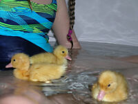 Better than Chocolate ... DUCKIES for EASTER! Live in your HOME