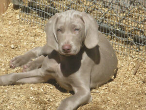 Weimaraner Kijiji Buy Sell Save With Canadas 1 Local