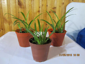 Spider Plant  ($10) for (3 Plants)