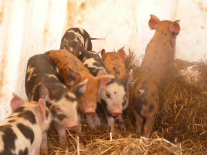 Berkshire / Duroc piglets