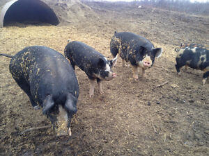 Free Range Heritage Breed Pigs for Sale ready to be butchered