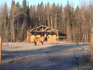 2 QUARTERHORSES FOR SALE Prince George British Columbia image 1