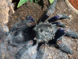 Tarantulas and spiders