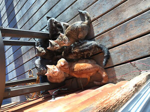 Feral six month old kittens for free to farm ranch