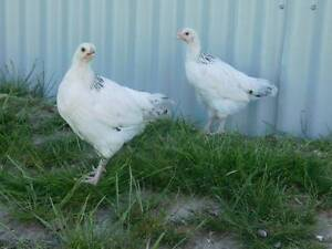 LIGHT SUSSEX CHICKENS Gunning Upper Lachlan Preview