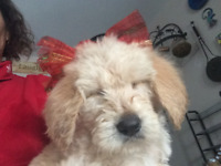 Mini and large  Labradoodle puppies for sale