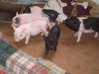 THEY ARE HERE !!!!! MICRO POTBELLY PIGLETS