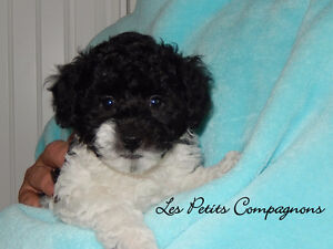 BEAUTIFUL TEACUP POODLE TOP QUALITY / TOY / TINY-TOY