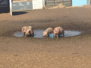 Boars/pigs