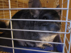 Two Chinchillas and Large Cage