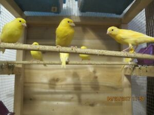 YELLOW   CANARYS FOR SALE